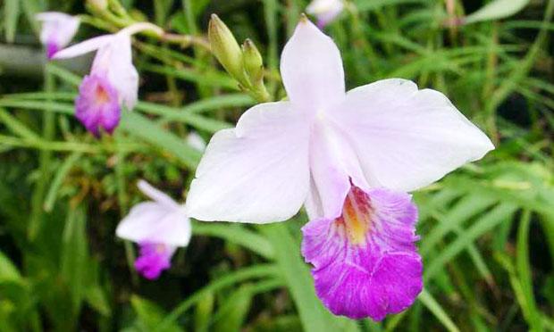 Orquídea Arundina Bambusifolia