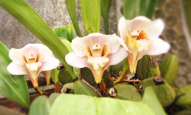 Orquídea Bifrenaria Harrissoniae