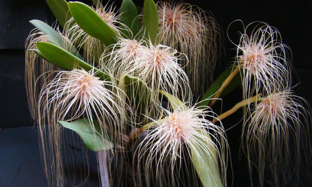 Orquídea Bulbophyllum Medusa