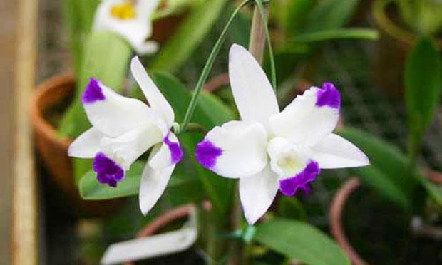 Orquídea Cattleya Haw Yuan Angel