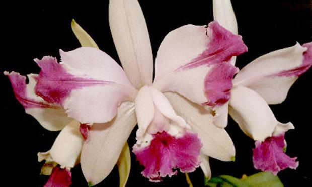 Orquídea Cattleya Intermédia