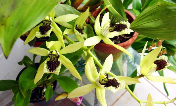 Orquídea Coelogyne Pandurata
