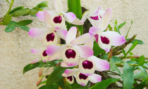 Orquídea Dendrobium Nobilie