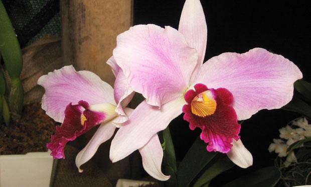 Orquídea Laelia Purpurata