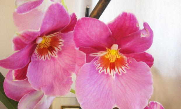 Orquídea Miltônia Ceo Apple