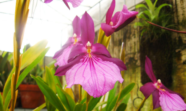 Orquídea Miltônia Spectabile Moreliana