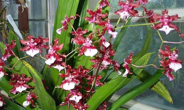 Orquídea Oncidium Sharry Baby