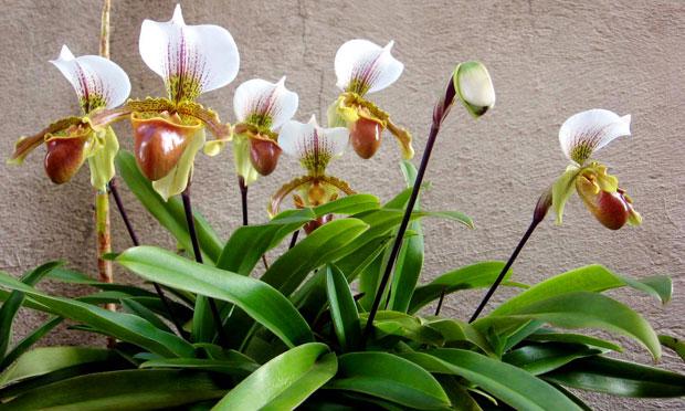 Orquídea Paphipedilum Leeanum