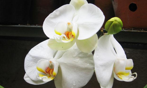 Orquídea Phalaenopsis Amabilis