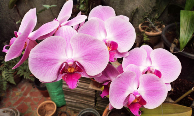 Orquídea Phalaenopsis Pink Twilighl