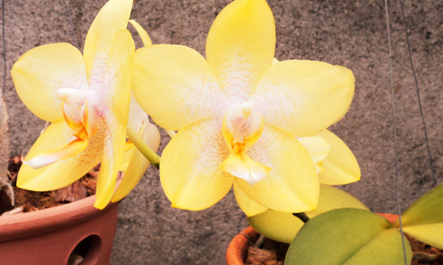 Orquídea Phalaenopsis Dragons Charme