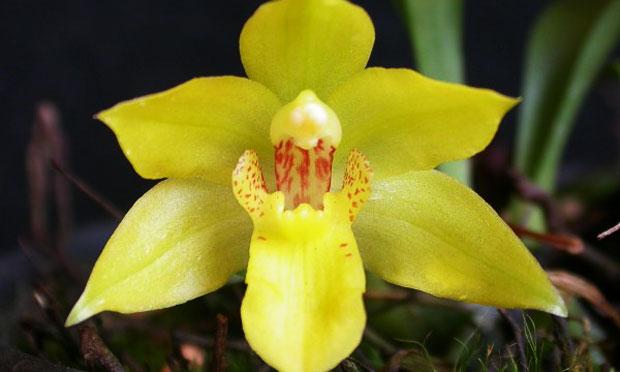 Orquídea Promenae Xanthina