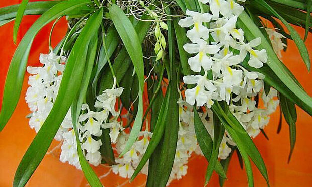 Orquídea Rodriguezia Venusta