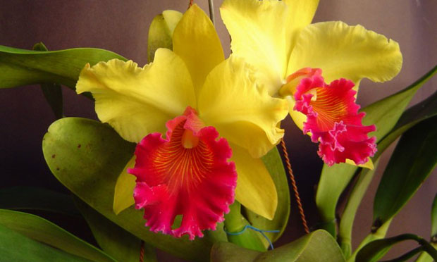 Orquídea Ryncholaeliocattleya Alma Kee