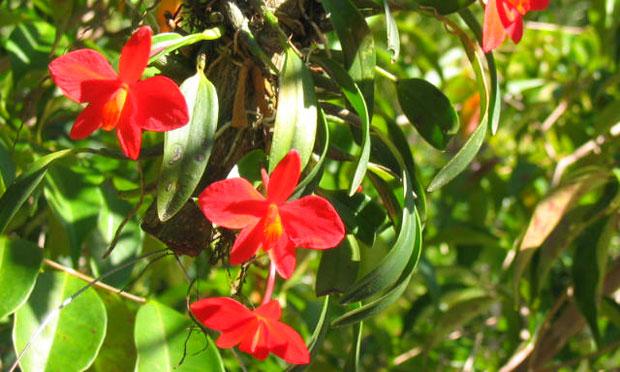 Orquídea Sophronitis Coccínea