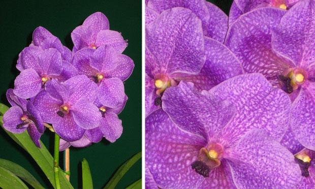 Orquídea Vanda Coerulea