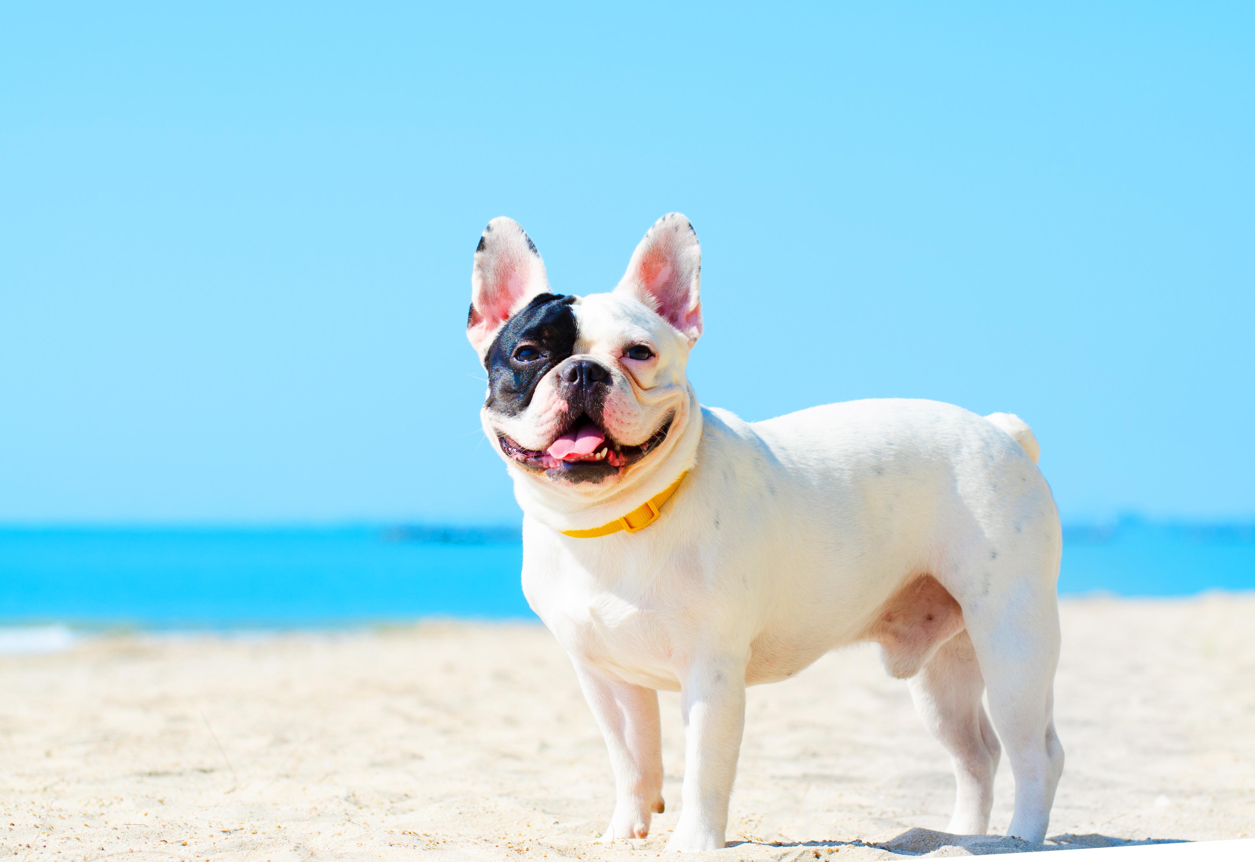 bulldog cachorro praia calor