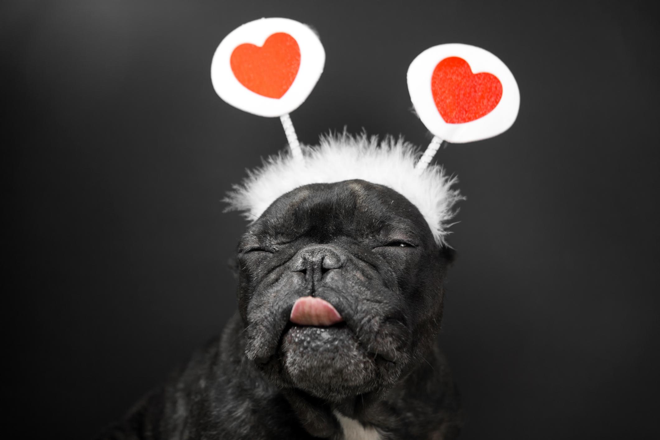cachorro fantasia carnaval cupido