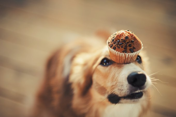 cachorro e chocolate