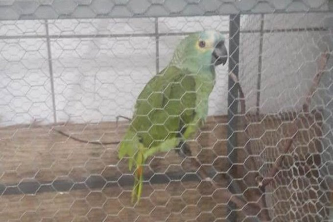 papagaio delator
