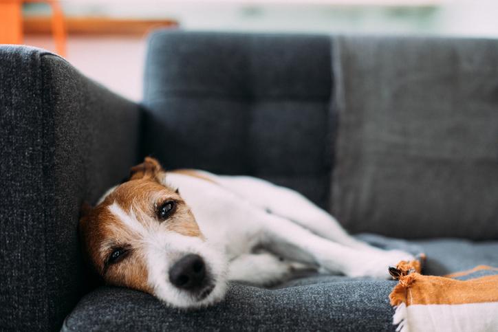 Cachorro deitado no sofá, triste