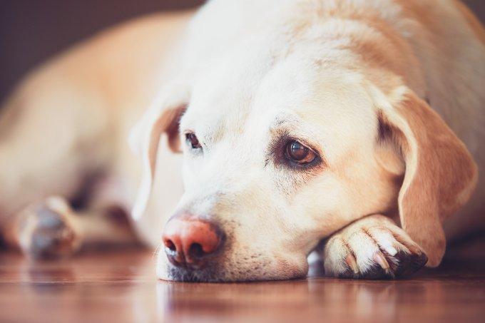 Cachorro depressivo
