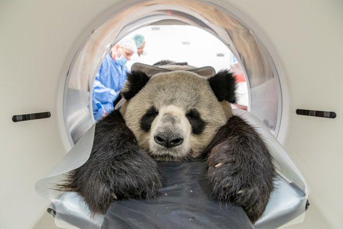 Panda fazendo tomografia