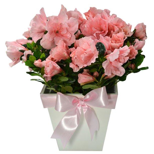 """Arranjo de azaleias cor-de-rosa plantadas em vaso de madeira, nas medidas 10 x 26 cm. <a href=""""https://www.giulianaflores.com.br/leveza-cor-de-rosa/p28837/"""" target=""""_blank"""" rel=""""noopener"""">Giuliana Flores</a>, R$ 110,50"""