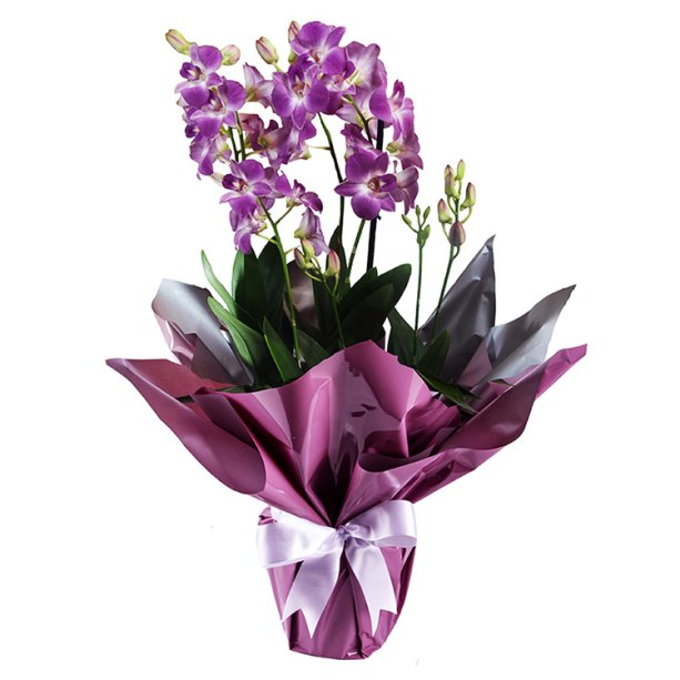 "<span>Orquídea Denphale Pink, nas medidas 17 x 60 cm.<a href=""https://www.giulianaflores.com.br/orquidea-denphale-pink/p29181/?src=DEPT"" target=""_blank"" rel=""noopener""> Giuliana Flores</a>, R$ 89,90</span>"