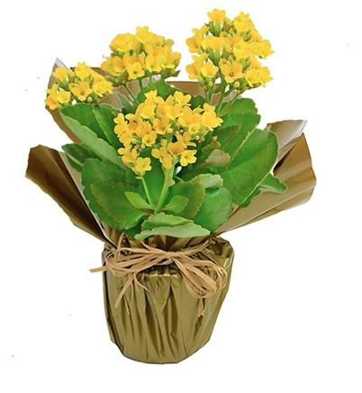 """Kalanchoe amarelo plantado com embalagem de celofane, nas medidas 12 x 20 cm. <a href=""""https://www.novaflor.com.br/lindo-kalanchoe-amarelo-plantado/p25814/?src=DEPT"""" target=""""_blank"""" rel=""""noopener"""">Nova Flor</a>, R$ 59,90"""