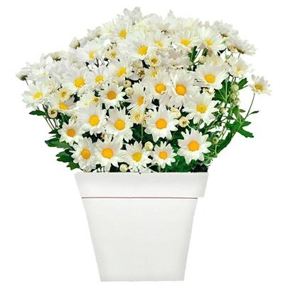 """Arranjo margaridas brancas em um cachepô branco de madeira, nas medidas 14 x 28 cm. <a href=""""https://www.novaflor.com.br/deslumbrantes-margaridinhas/p24516/?src=DEPT"""" target=""""_blank"""" rel=""""noopener"""">Nova Flor</a>, R$ 93,40"""