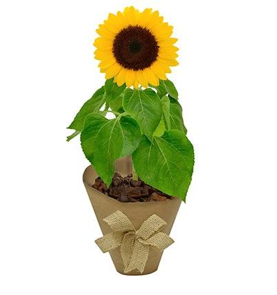 """<span>Girassol plantado e embalado em kraft, nas medidas 13 x 40 cm. <a href=""""https://www.novaflor.com.br/girassol-plantado-kraft/p28916/?src=DEPT"""">Nova Flor</a>, R$ 77,80</span>"""