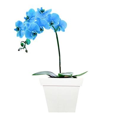 """Orquídea phalaenopsis azul plantada em cachepô branco de madeira, nas medidas 13 x 30 cm. <a href=""""https://www.novaflor.com.br/deslumbrante-orquidea-blue/p23165/?src=DEPT"""">Nova Flor</a>, R$ 265,30"""