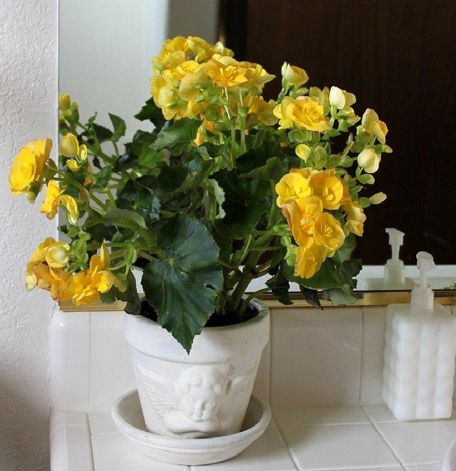 Plantas para ter no banheiro - begônia
