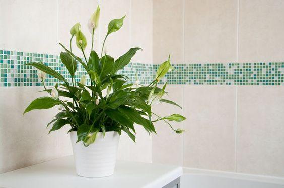 Plantas para ter no banheiro - lírio-da-paz