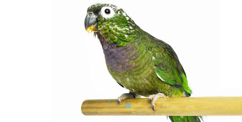 Como cuidar de um papagaio