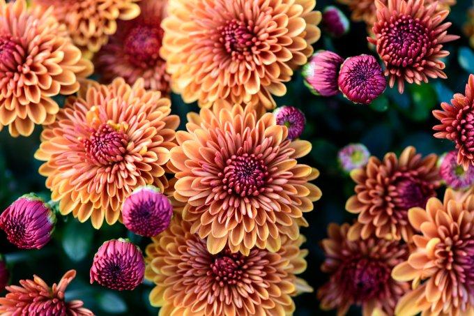 Flores primavera – crisântemo