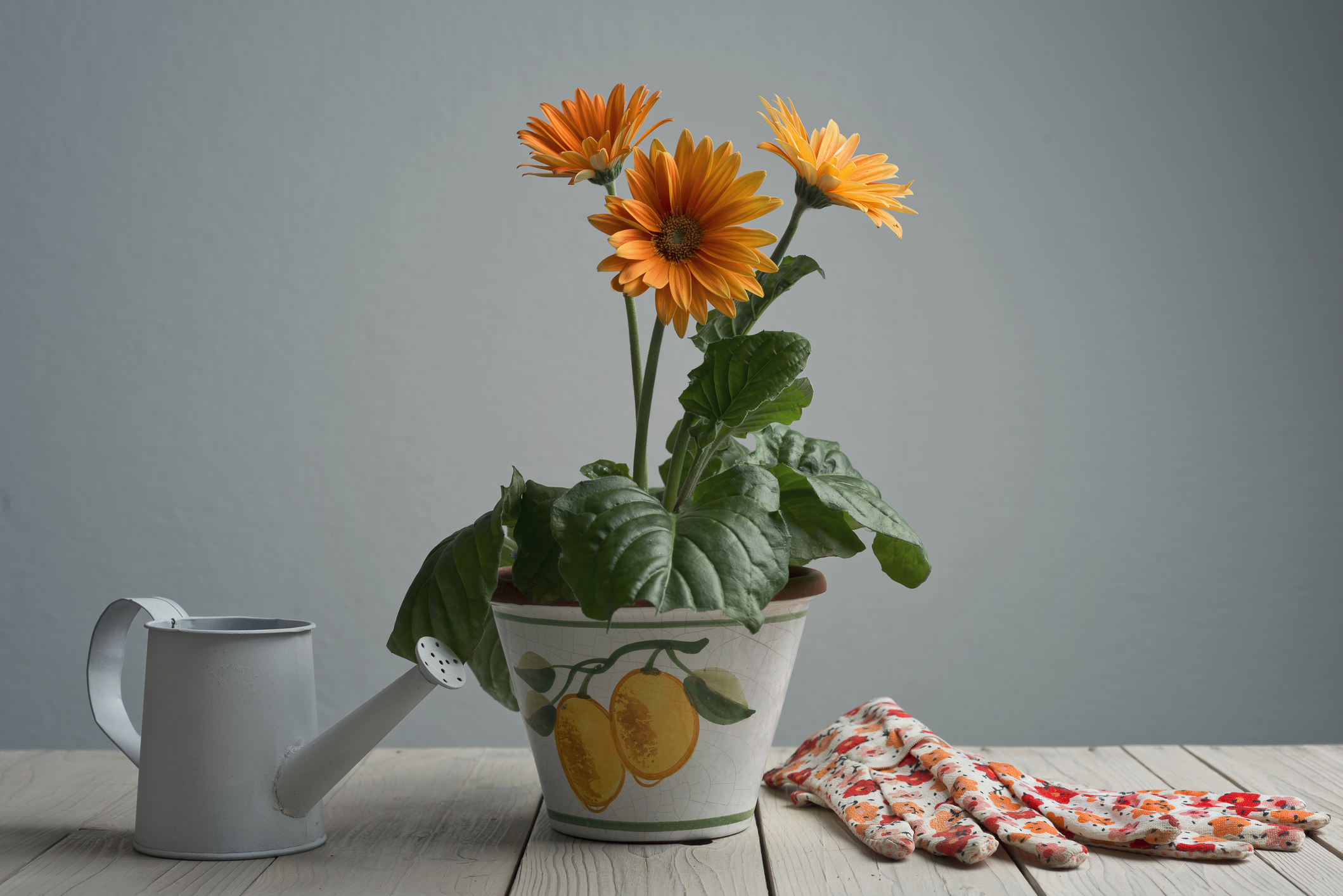 Gerbera Daisy in pot with watering can and gloves on wooden rustic table.Studio shot