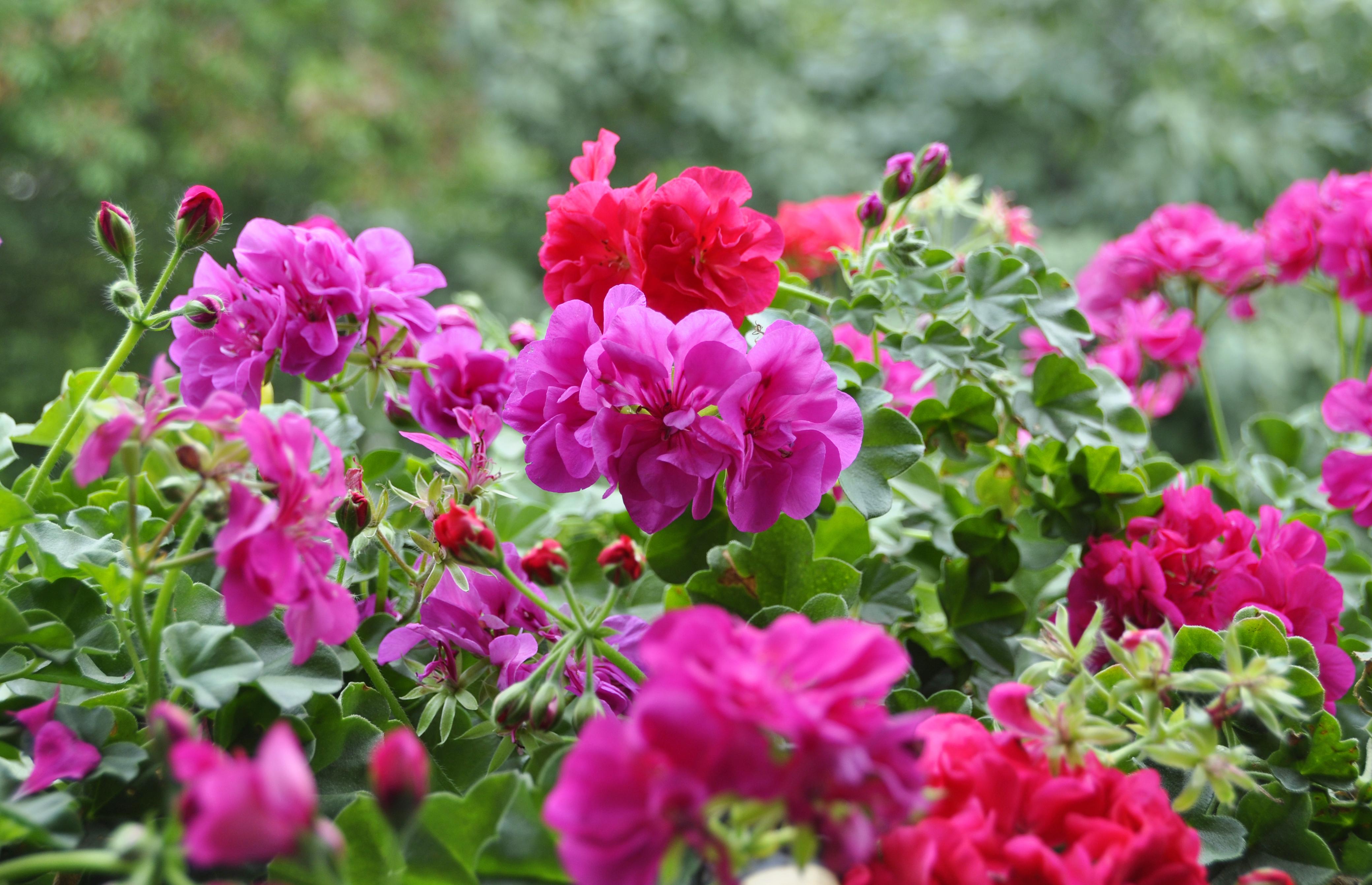 Flor gerânio