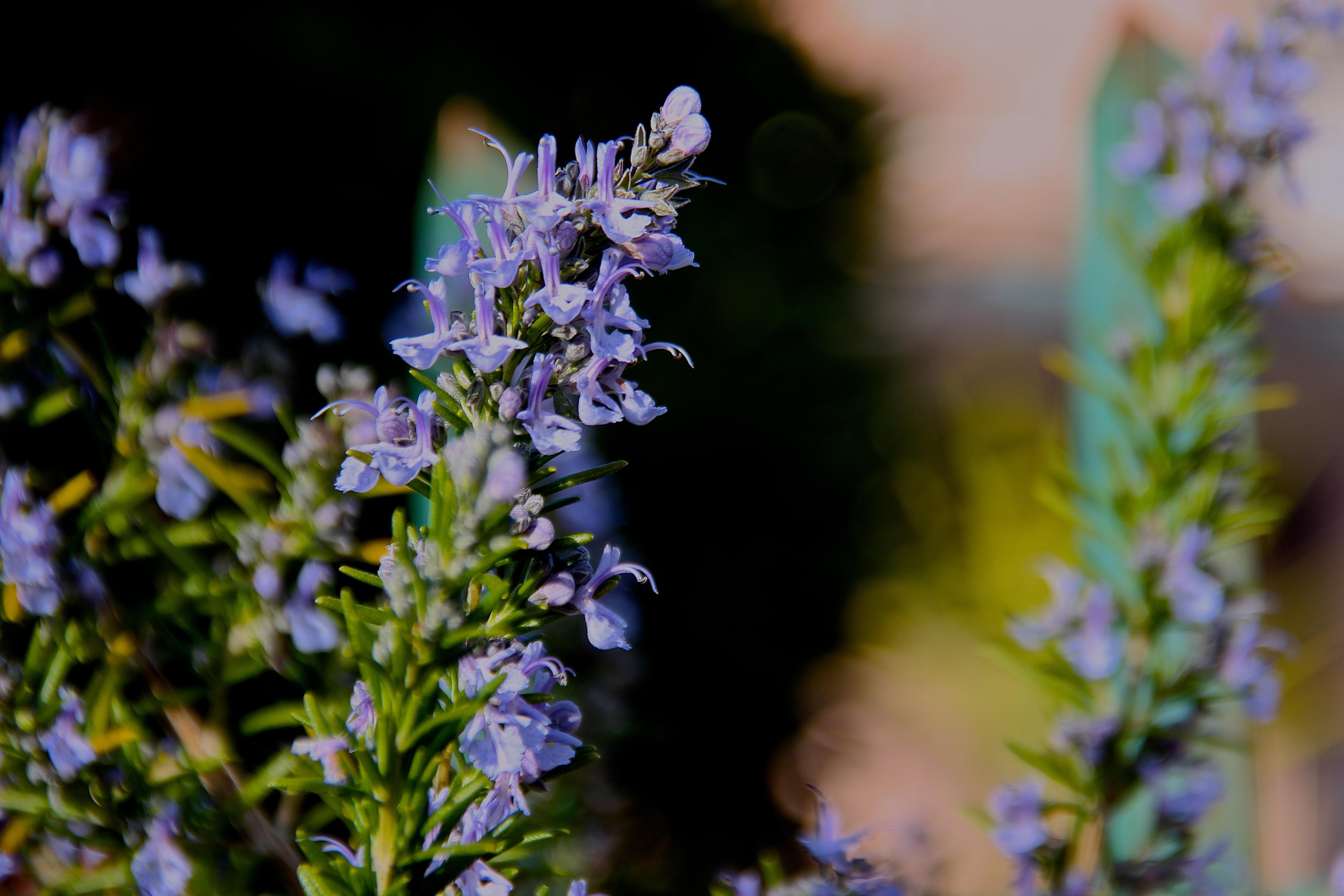 Flor alecrim