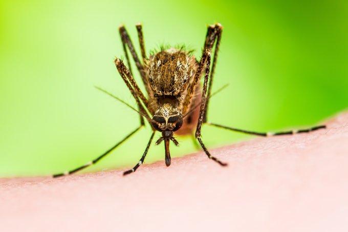 mosquito mayaro