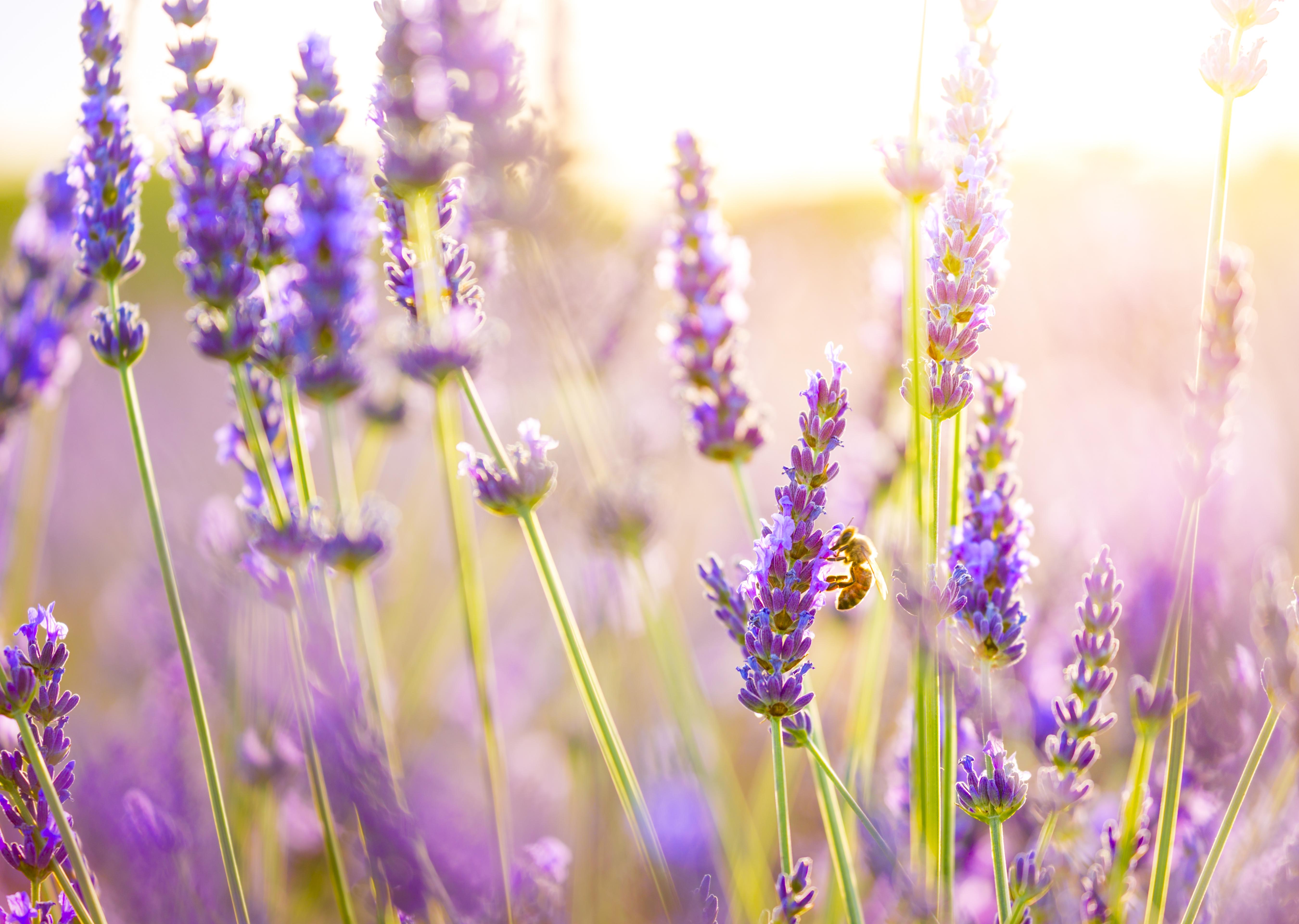 Flor alfazema lavanda