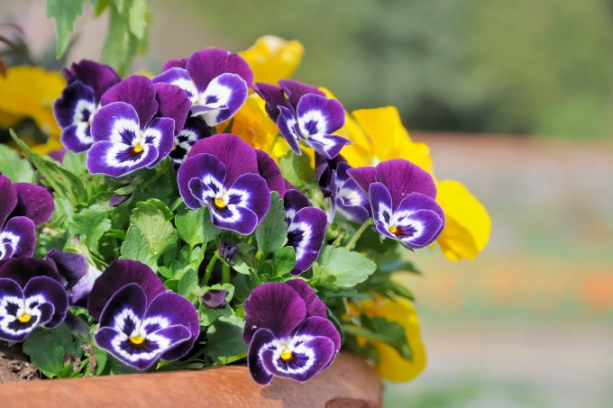 vaso flores amor-perfeito