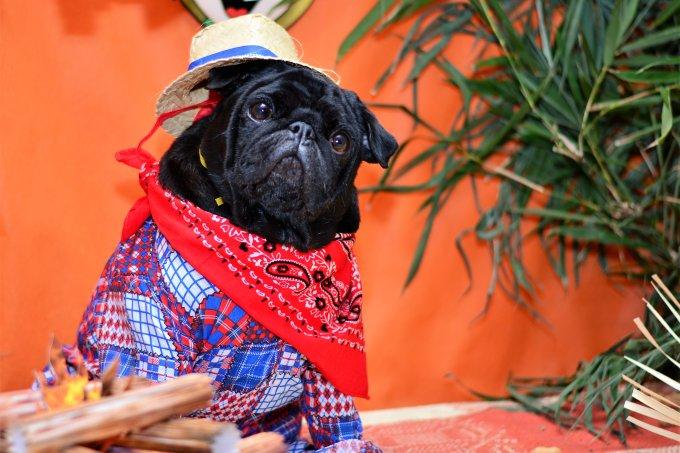 Senhor pug caipira na festa junina