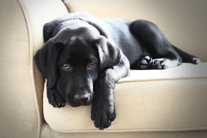 cachorro pelo no sofá
