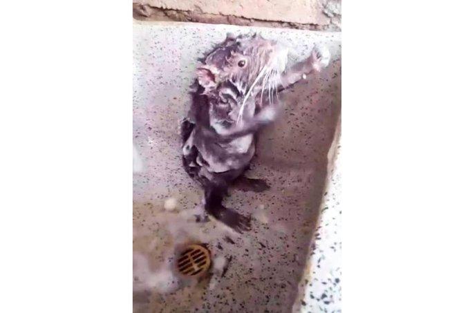Rato tomando banho