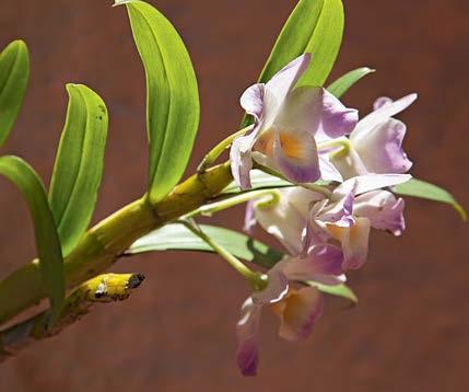 Orquídea olho-de-boneca lilás