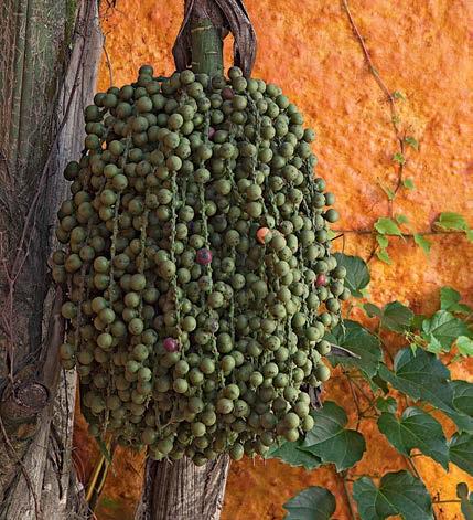 Frutos da palmeira rabo-de-peixe