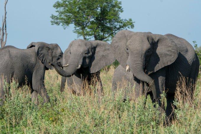 Mortes misteriosas de elefantes em Botsuana