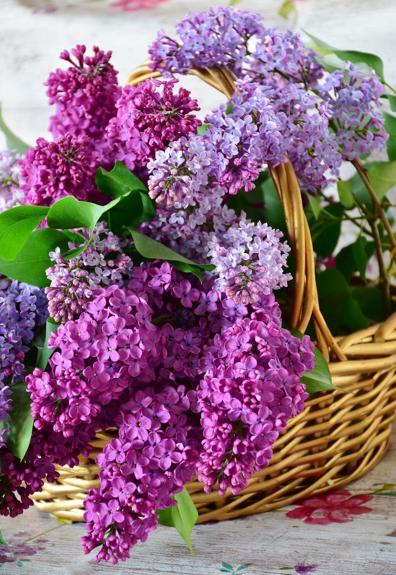 violeta perfumada